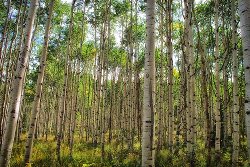 Birch Forrest by e. david, on Flickr