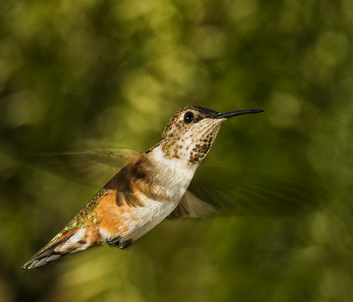 Hummer In The Light by Bill Gracey, on Flickr