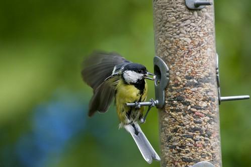 DSC_0096 Great Tit - Parus major by Wildlife Boy1, on Flickr