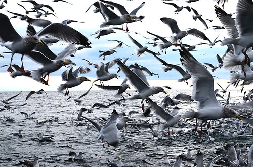 Gulls on Lake Michigan by U.S. Fish and Wildlife Service - Midwest Region, on Flickr