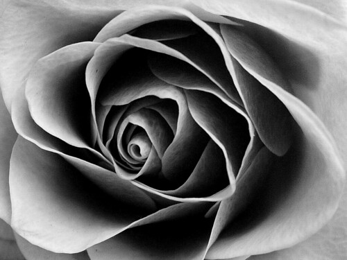 Rose in Black and White by Auntie P, on Flickr