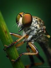 Female Ommatius Robber Fly