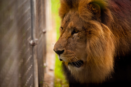 Sad Lion by laubarnes, on Flickr