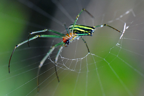 Bukit Lawang - Big-jawed Spider by Drriss & Marrionn, on Flickr