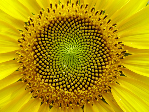 SunFlower: the Fibonacci sequence, Golde by lucapost, on Flickr