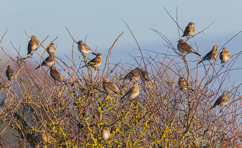 Flock of fieldfares (and a couple of red by scyrene, on Flickr