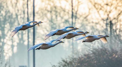 Swans in flight by scyrene, on Flickr